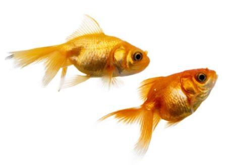 Obrázek pro kategorii Rybičky